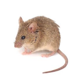 rodent control dallas