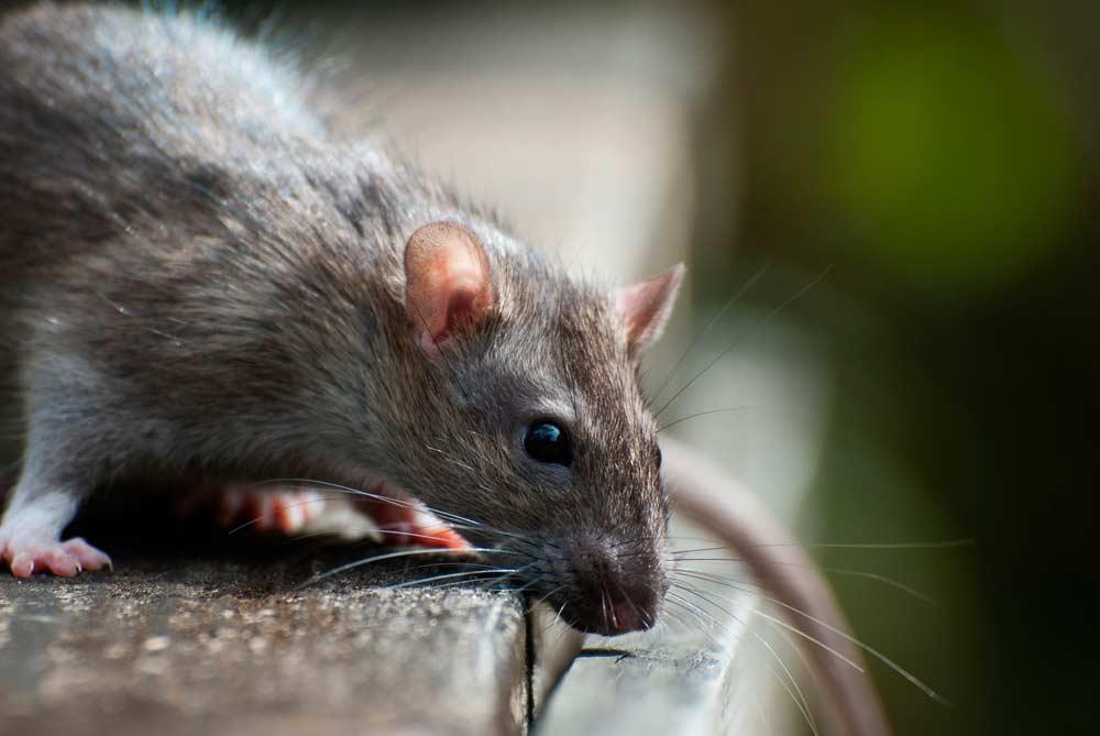 rat control dallas